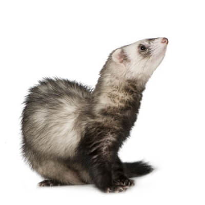 Viral and bacterial infections in ferrets