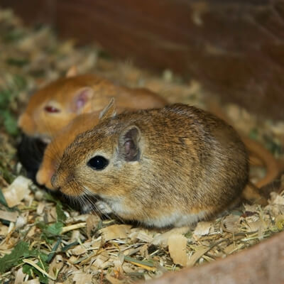 Gerbils: Miscellaneous Health Problems