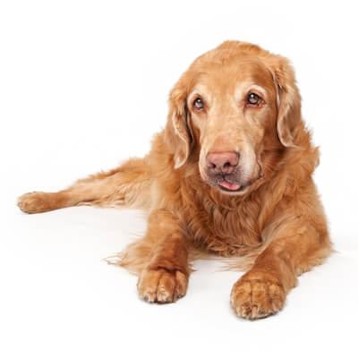 Canine Cutaneous Mast Cell Tumors