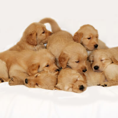 Breeding From Your Dog